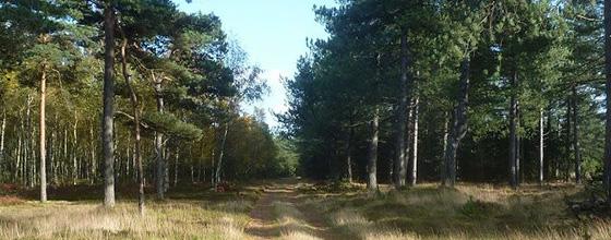 naturen - skov ved Blåvand