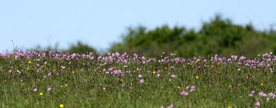naturen ved blåvand: klokkeblomstlyng