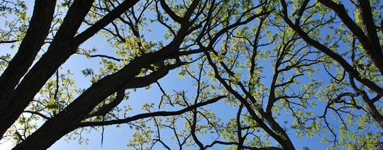 naturen ved blåvand: udsprunget egetræ